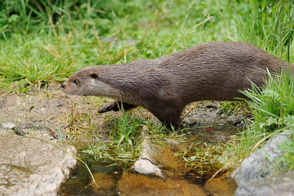 Loutre d'Europe